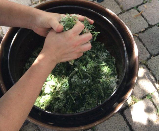 Préparation des sommités fleuries d'Achillée Millefeuille pour la transformation en hydrolat